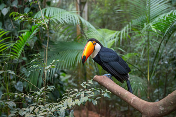 Exotic toucan brazilian bird in nature in Foz
