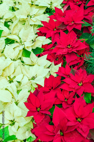 Traditional Poinsettia Flowers Blooming At Christmas