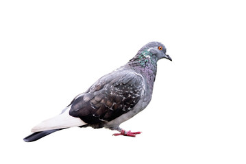 Grey pigeon isolated on white background