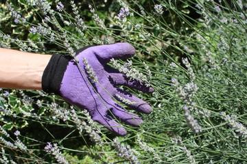 Italy, garda lake. lavender harvest