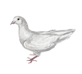 Watercolor white dove. White pigeon symbol of love , piece and freedom. Beautiful creature for lovely art and decoration.
