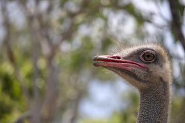 Profile of Ostrich