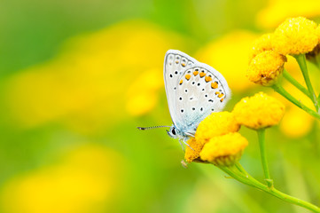 Plebejus idas, Idas Blue or Northern Blue, is a butterfly in the family Lycaenidae. Beautiful butterfly sitting on flower. Occurence of species in Europe, America and Asia.