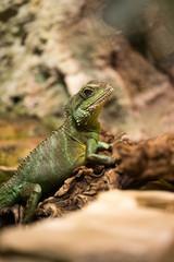 Iguana in a terrarium, a medium-sized green lizard