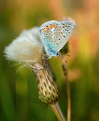 Polyommatus bellargus, Adonis Blue, is a butterfly in the family Lycaenidae. Beautiful butterfly sitting on flower. Occurence of species in Europe, Russia and Iraq.