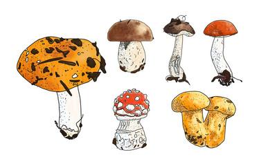 Vector illustration of mushrooms set: russula, boletus, chantere