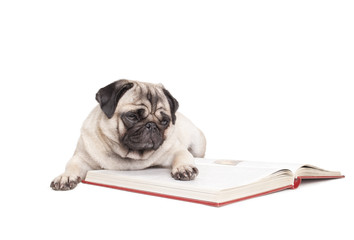 Wall Murals Dog schattige hond, mopshond, ligt op de grond en leest boek, geisoleerd op witte achtergrond