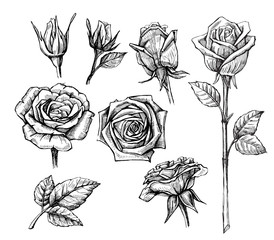 vector roses with leaves