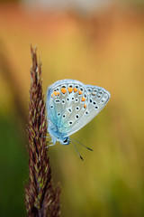 Polyommatus bellargus, Adonis Blue, is a butterfly in the family Lycaenidae. Beautiful butterfly sitting on stem. Occurence of species in Europe, Russia and Iraq.