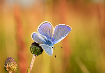 Polyommatus Icarus, Common Blue, is a butterfly in the family Lycaenidae. Beautiful butterfly sitting on flower. Occurence of species in Europe, America and Asia.