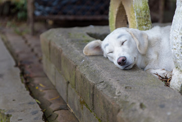 Lonely homeless white dog sleeping on path