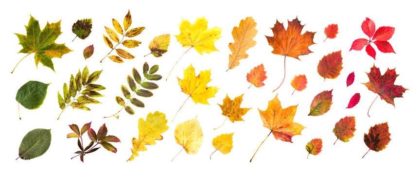 collection of beautiful colored autumn leaves