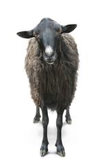 Fond de hotte en verre imprimé Sheep black sheep front view isolated on white back