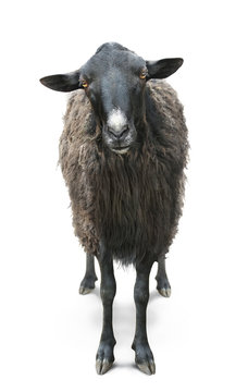 black sheep front view isolated on white back