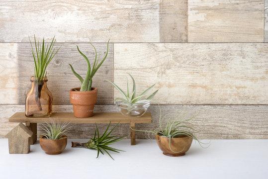 エアープランツ チランジア 観葉植物