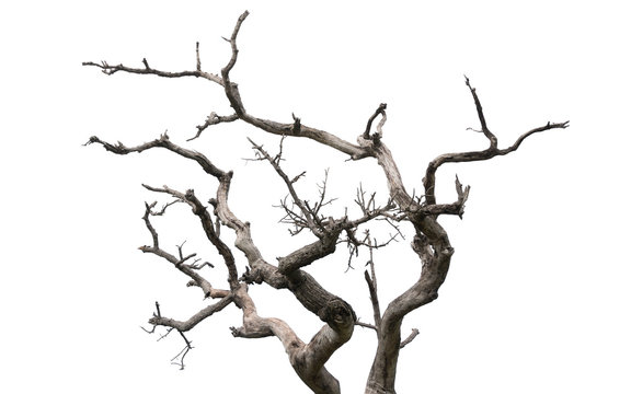 Dry tree on white background