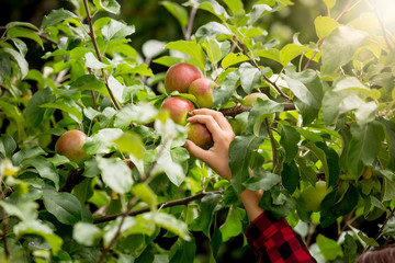 Closeup of female hand picking apples from trees at sunny day