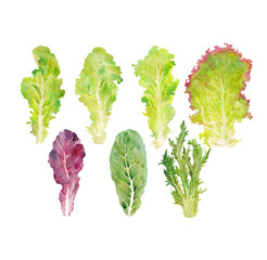 leaves lettuce watercolor on the white bachground