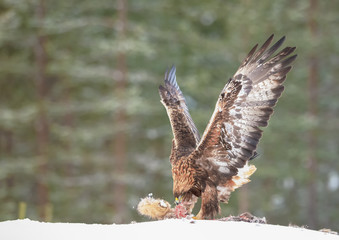 Golden eagle eating a racoon carcass