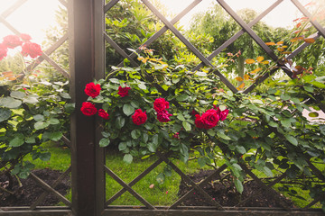 Fototapeta Toned image of red roses growing on decorative wooden fence at p obraz