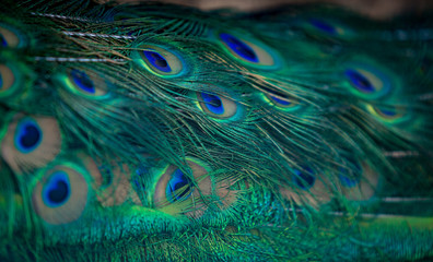 Beautiful green and blue peacock plumage