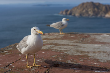 Seagulls in Cies Islands (Pontevedra, Spain).