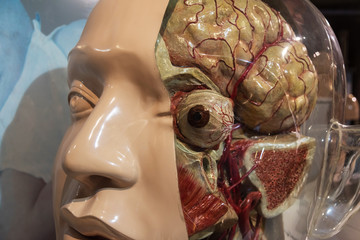 head of human anatomical model