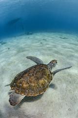 Turtle swimming near to sandy bottom