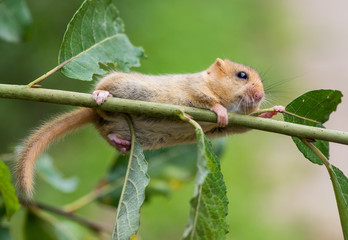 Hazel (or common) dormouse (Muscardinus avellanarius)