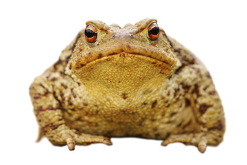 isolated close up of common toad