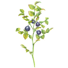 Watercolor realistic illustration of bilberries with branches and leaves, isolated on white background.
