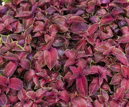 red  Perilla, Shiso. Texture, field of korean perilla sesame plants, red  Beefsteak plant's leaves