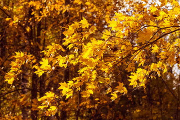Yellow autumn maple leaves on the wind