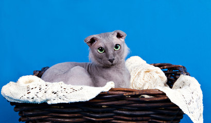 Naked lop-eared cat breed Ukrainian Levkoy