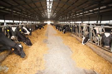Large cow farm