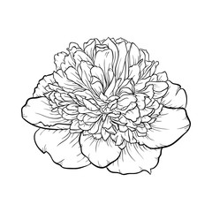 black and white peony isolated on background.