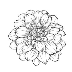 black and white dahlia flower isolated on background.