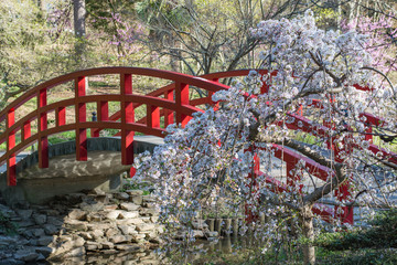cherry blossoms and an arched red bridge within a japanese garden picture originated from sarah