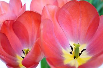 In tulip.