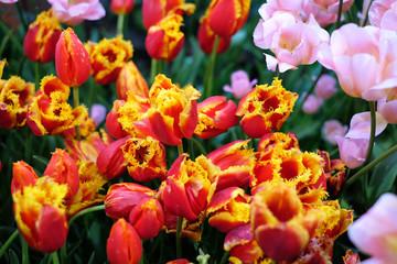 Tulips in garden.