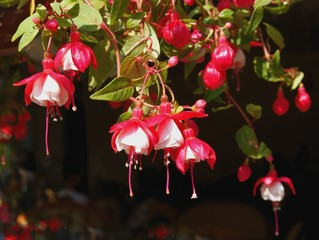 red and white flowers of fuchsia