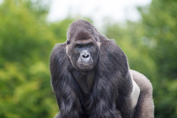 Gorille male - Gorilla - en gros plan