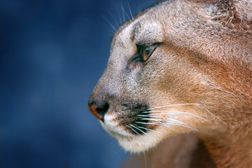 Beautiful puma portrait close up on blue background