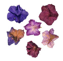 dried pressed colorful petunias
