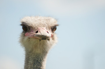 The head of an ostrich close-up (Struthio camelus)