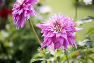 color dahlia flower