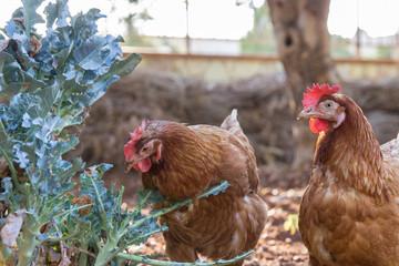 Chickens in farm garden