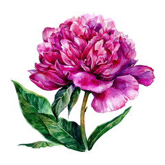 Watercolor hand drawn illustration of pink peony