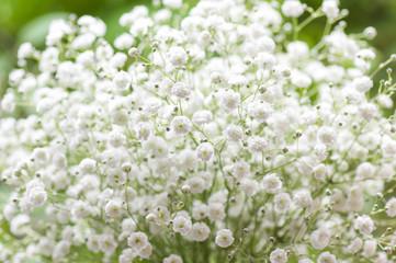 「かすみ草 花畑 」の画像検索結果