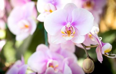 Fototapeta Purple phalaenopsis orchid flower